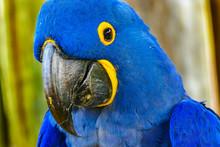 Blue Yellow Hyacinth Macaw Par...