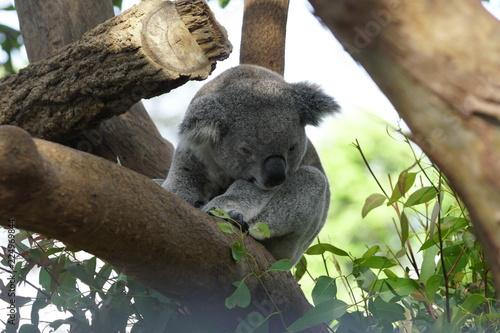 Staande foto Koala Koala on a Tree