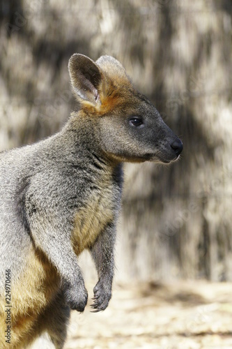 Spoed Foto op Canvas Kangoeroe A happy Wallaby