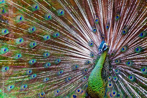 Naklejka premium Portret dziki męski paw z wachlowanym kolorowym pociągiem. Zielony ogon pawia azjatyckiego z opalizującym niebiesko-złotym piórkiem. Naturalne upierzenie oczu, tło egzotycznych ptaków tropikalnych.