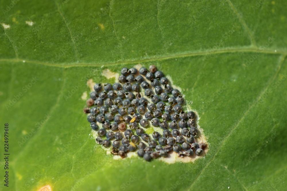 Von Erzwespen parasitiertes Gelege der Kohleule (Mamestra brassicae)