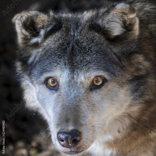 wolf starring Canvas-taulu