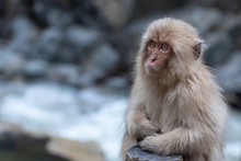 Young Japanese Macaque Sitting By The Side Of The Hot Pool, Enjoying The Warmth