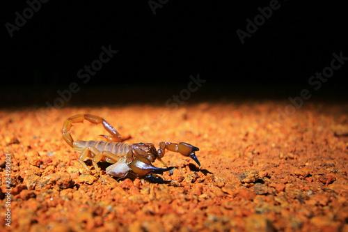 Scorpion in Australia