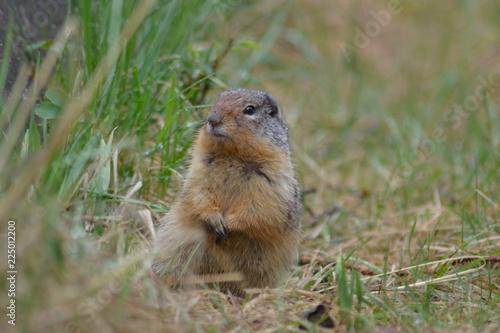 Staande foto Ree Squirrel