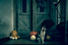 Angry Roaring Cat With Amputated Leg Sitting By Front Door Decorated With Pumpkins For The Halloween Season. Dark Spooky Halloween Mood Background.
