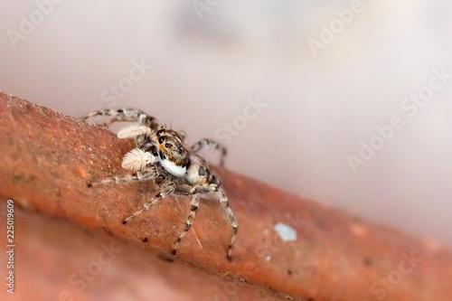 Fotobehang Macrofotografie Harlequin jumping spider