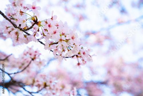 美しく咲く桜の花