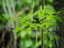 Medium Wide Shot Of Malunggay (horse Radish) Leaves In The Rain