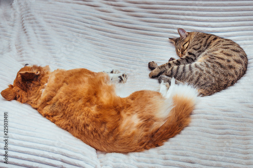 Poster Chicken Red dog and gray cat are sleeping next to the bed