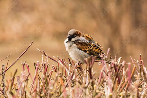 Deurstickers Vogel Male or female house sparrow or Passer domesticus is a bird of the sparrow family Passeridae, found in most parts of the world