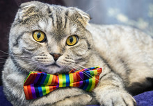 Scottish Fold Cat In A Tie Butterfly Rainbow Colors. Gaze Of The Cat
