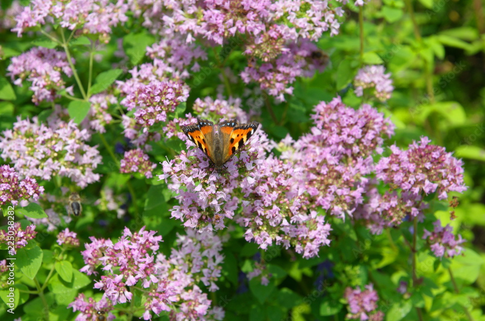 Butterfly Aglais urticae on the flowers of oregano (lat. Origanum vulgare)
