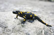 Salamander On A Walk