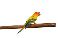 Sun Conure Bird Perching On Wood Branch Isolated On White Background, Clipping Path Included