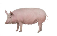 Pig Isolated On White