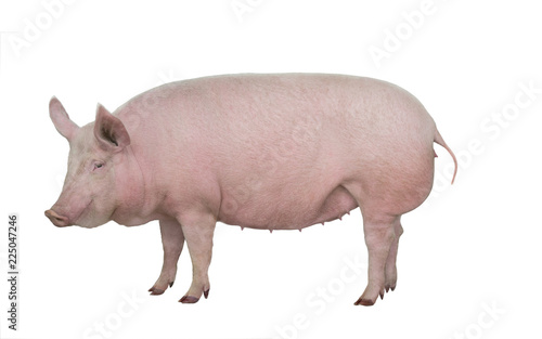Fotografía  pig isolated on white