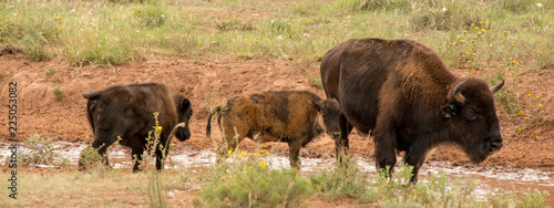 Bison in Caprock Canyon State Park