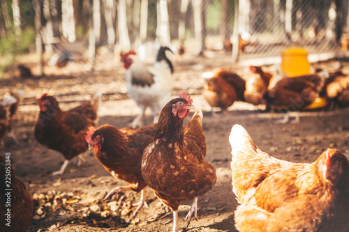 Poster de jardin Poules Chickens and roosters on the farm in the evening light