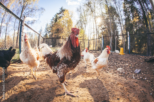 Chickens and roosters on the farm in the evening light