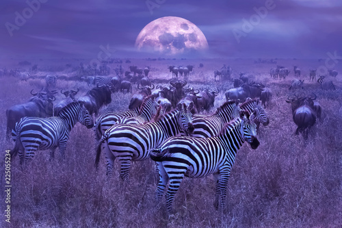 Zebras in the African savannah. Night lunar African landscape. Wildlife of Africa.