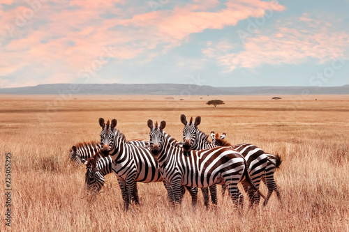 Photo Stands Zebra Wild African zebras in the Serengeti National Park. Wild life of Africa.