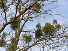 Mistletoe Growing On A Tree, Symbol Of Christmas Holidays