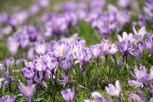 Staande foto Lente Beautiful violet crocus flowers growing in the grass, the first sign of spring. Seasonal easter background.