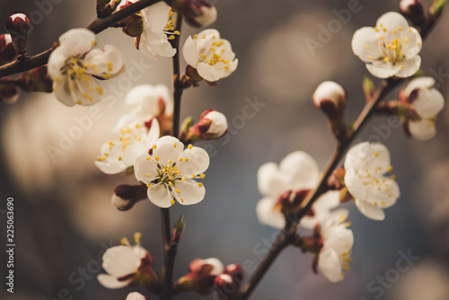 Staande foto Lente Blossoming of the apricot tree in spring time with white beautiful flowers. Macro image with copy space. Natural seasonal background.