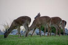 Feeding Whitetail Deer Female ...