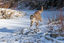 Mountain Lion Running In Snow