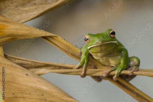 Foto op Plexiglas Kikker Whitelips tree frog