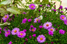Close Up Of American Aster- Herbstastern. A Butterfly On Small Violet Autumn Flowers