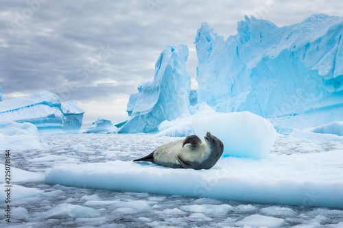 Photo Stands Antarctic Crabeater seal (lobodon carcinophaga) in Antarctica resting on drifting pack ice or icefloe between blue icebergs and freezing sea water landscape in the Antarctic Peninsula