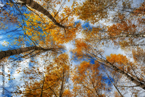 crowns of autumn trees. branches against the sky