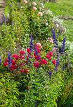 Flowers Of Blue Sage And Roses In The Summer Garden, Landscape Design And Gardening