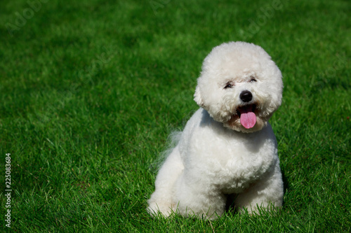 Fotografia, Obraz The dog breed Bichon Frise