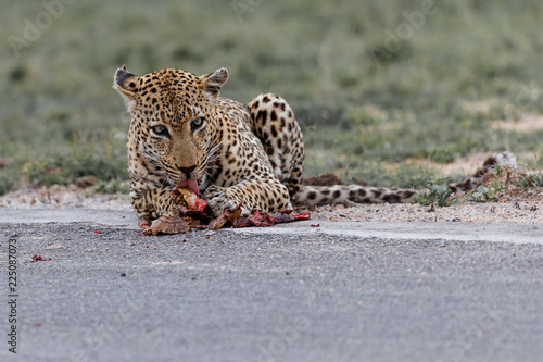 Tuinposter Luipaard Old male leopard having a easy diner from a leopard tortoise on the airstrip in Sabi Sands Game Reserve part of the greater Kruger Region in South Africa