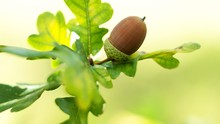 Oak Leaf, Acorn On Oak Tree Ba...