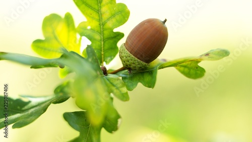Fotografie, Obraz Oak leaf, acorn on oak tree background.