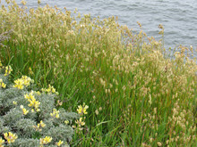 Coastal Flowers And Grasses Of N. California