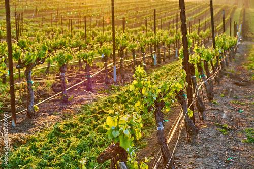 Keuken foto achterwand Verenigde Staten Vineyards at sunrise in California, USA