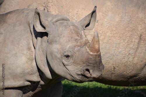 Fotobehang Neushoorn Eastern black rhino