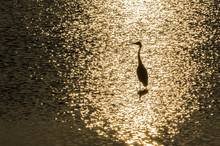 A Grey Heron Bird Silhouette Bathing In The Golden Reflection Of The Sun Rays On The Surface Of A Lake.