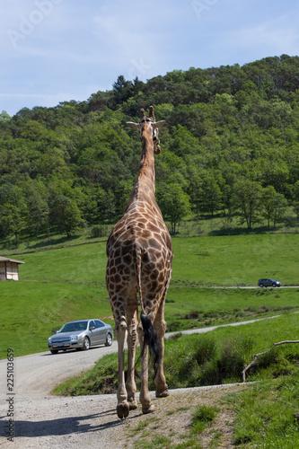 Giraffe in a Safari Tour