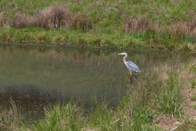 A Great Blue Heron In A Pond