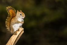 American Red Squirrel - Tamias...