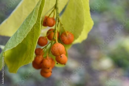 Photo Orange bittersweet berries on the branch