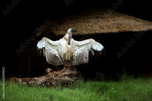 Obraz na plátně  Albino Vulture on wood