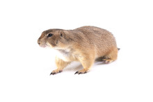Sideview Of Prairie Dog Walking.